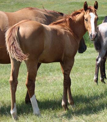 AM PEPTO SPRING LENA. Quarter Horse en venta.