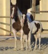 Avana Lena YFD. Yegua paint horse de cria