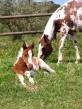 Dugan. Potro paint Horse